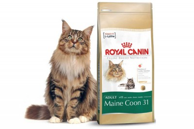 Maine Coon 31