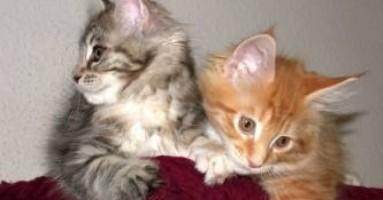 Šta treba da znamo ako želimo mačku?
