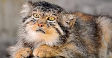 Jedinstvena, neponovljiva, unikatna - MANUL mačka!