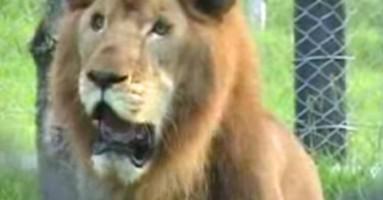 Oslobođen iz cirkusa, lav prvi put osetio zemlju i travu (VIDEO)