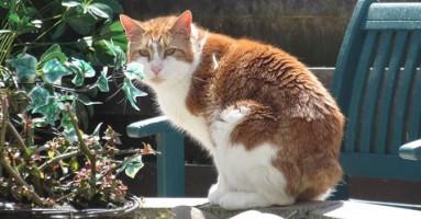 Kako su mačke na jednom britanskom ostrvu ostale bez repova?