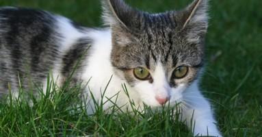 Zapaljenje uha kod mačaka