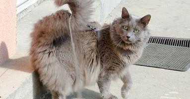 """Nebelung mačka - """"biće izmaglice"""""""
