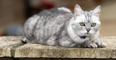 Mačka rekorder u predenju