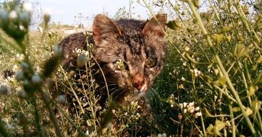 Australija planira da ubije 2 miliona mačaka!