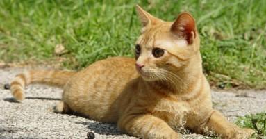 Toplotni udar kod mačaka