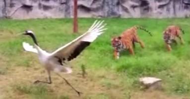 Ždral ptica protiv dva tigra - samoubistvo ili možda ipak ne? (VIDEO)