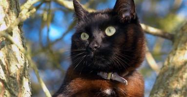 Krvne grupe kod mačaka i neonatalna izoeritroliza